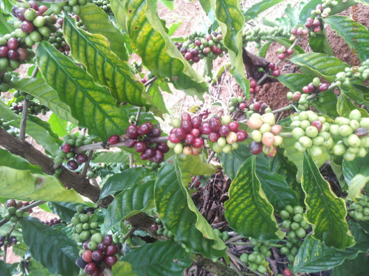 Arabica A1 s17-18 wet polished